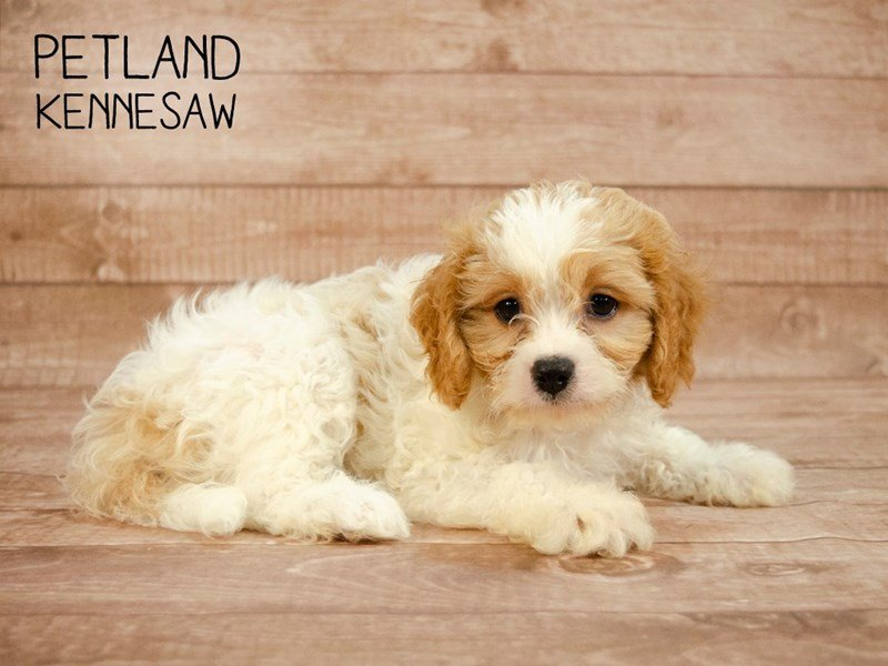 Cavachon-Male-BLENHEIM-2420758-Petland Kennesaw