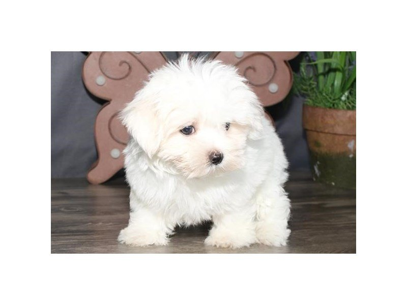 Maltese-Male-White-2428802-Petland Kennesaw