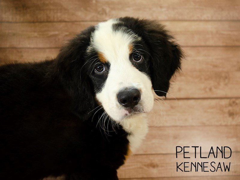 Bernese Mountain Dog-Male-Black Rust / White-2415335-Petland Kennesaw
