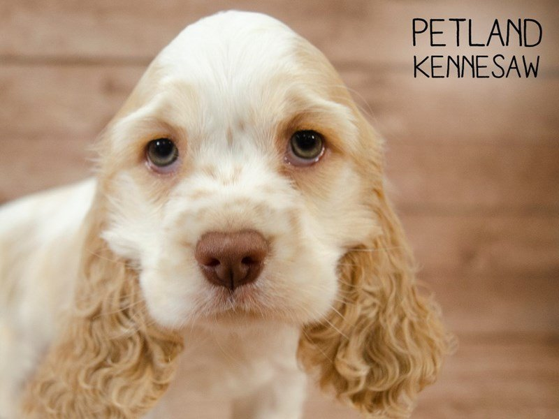 Cocker Spaniel-Female-BUFF WHITE-2427062-Petland Kennesaw