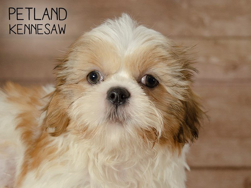 Shih Tzu-Male-BROWN WHITE-2427029-Petland Kennesaw