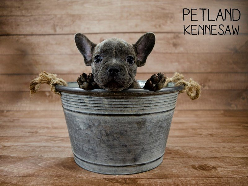 French Bulldog Puppies Breed Info - Petland Kennesaw