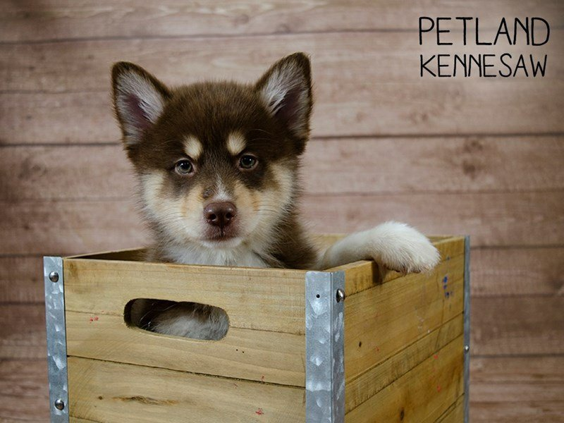 Pomsky-Male-Red / White-2433490-Petland Kennesaw