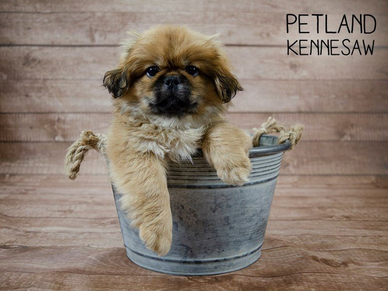 Pekingese-Male-Fawn Sable-2433492-Petland Kennesaw