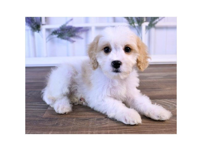 Cavachon-Male-Blenheim-2440051-Petland Kennesaw