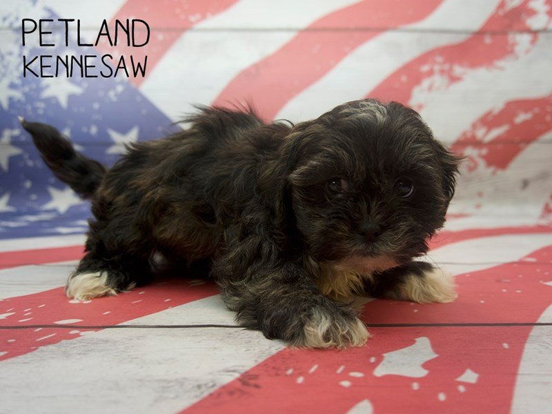 Teddy Bear-Male-Dark Brindle-2384556-Petland Kennesaw