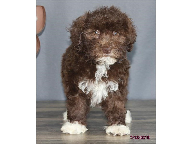 Havanese-Male-Chocolate-2410939-Petland Kennesaw