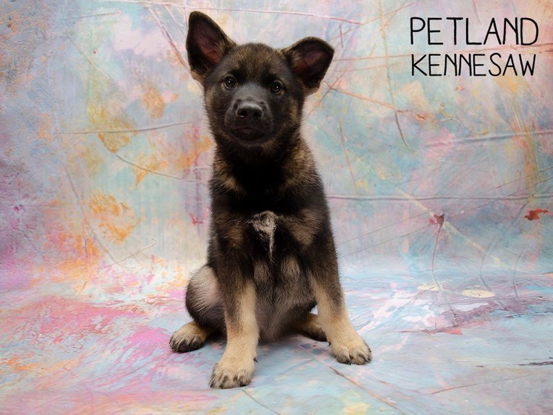Norwegian Elkhound-Male-Gray-2402517-Petland Kennesaw