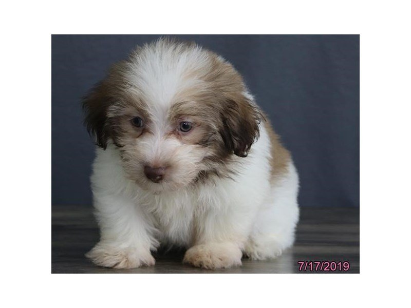 Havanese-Male-Gold Sable-2415441-Petland Kennesaw
