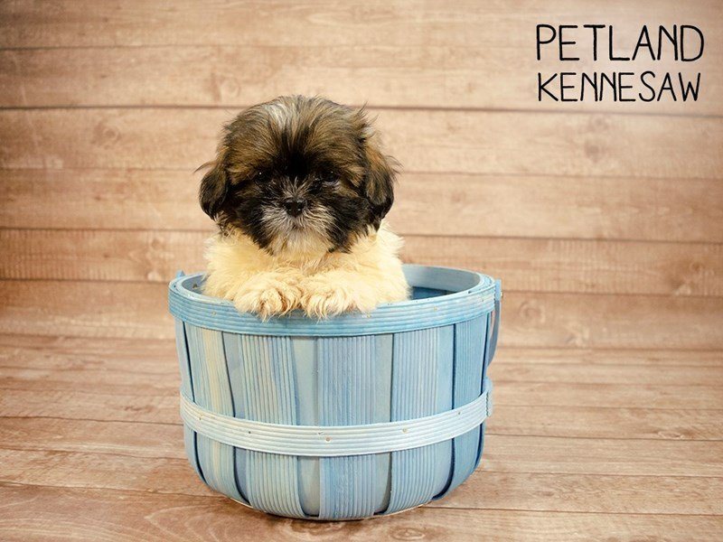 Shih Tzu-Male-brown white-2420996-Petland Kennesaw
