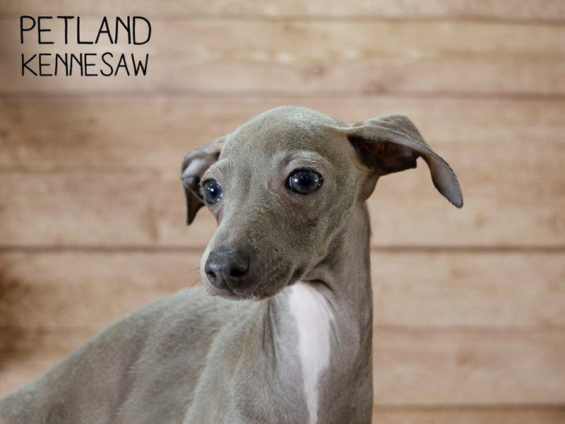 Italian Greyhound-Female-Blue-2433506-Petland Kennesaw