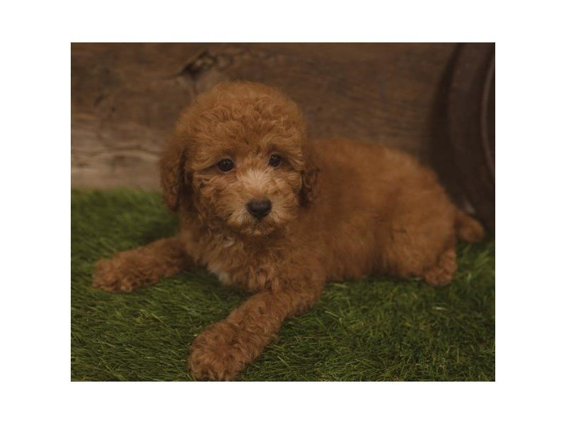 Poodle-DOG-Male-Red-2440053-Petland Kennesaw