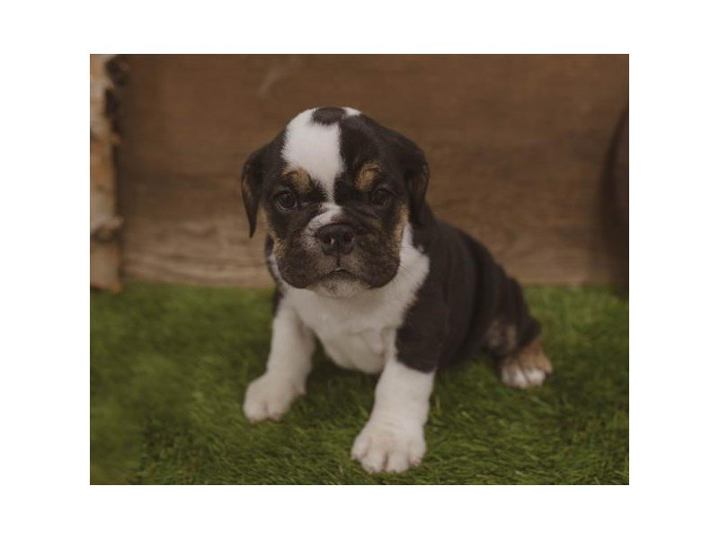 English Bulldog-Female-Black Fawn / White-2440068-Petland Kennesaw