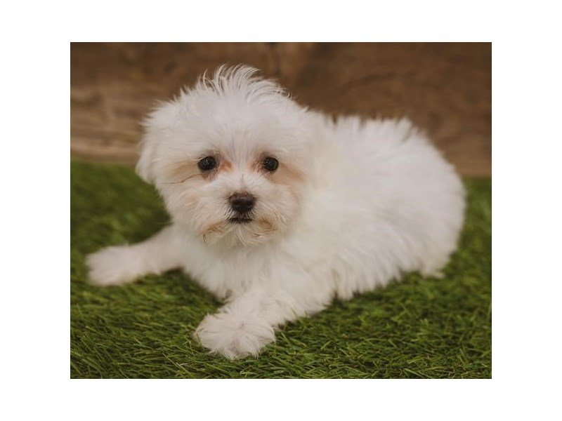 Maltese-Female-White-2440112-Petland Kennesaw