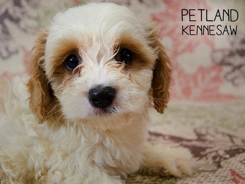 Cavachon-Male-Blenhiem-2446103-Petland Kennesaw