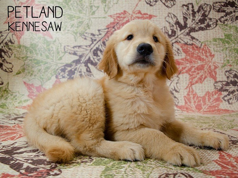 Golden Retriever-Female-Golden-2446069-Petland Kennesaw