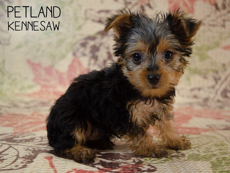 Yorkshire Terrier-Male-Black / Tan-2455242-Petland Kennesaw