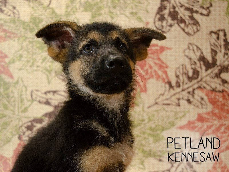 German Shepherd-Male-Black  Brown-2451049-Petland Kennesaw