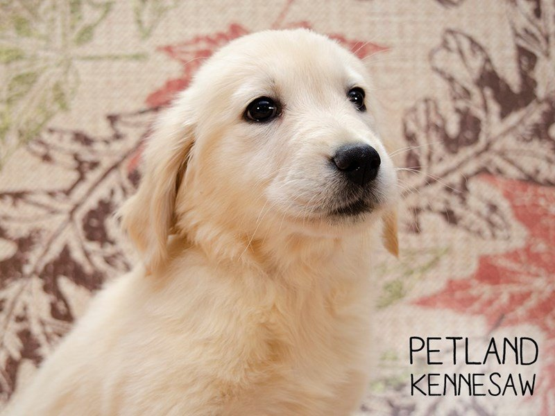 Golden Retriever-Female-Golden-2457527-Petland Kennesaw
