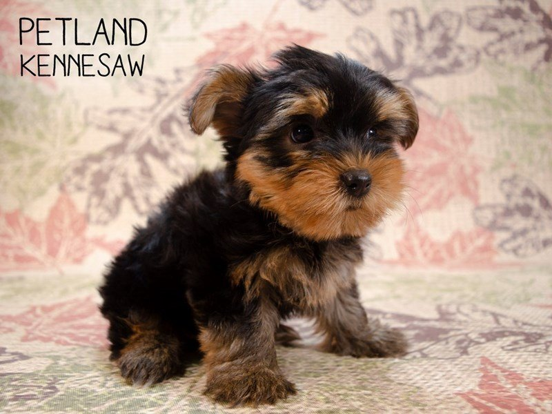 Yorkshire Terrier-Female-Black / Tan-2461148-Petland Kennesaw