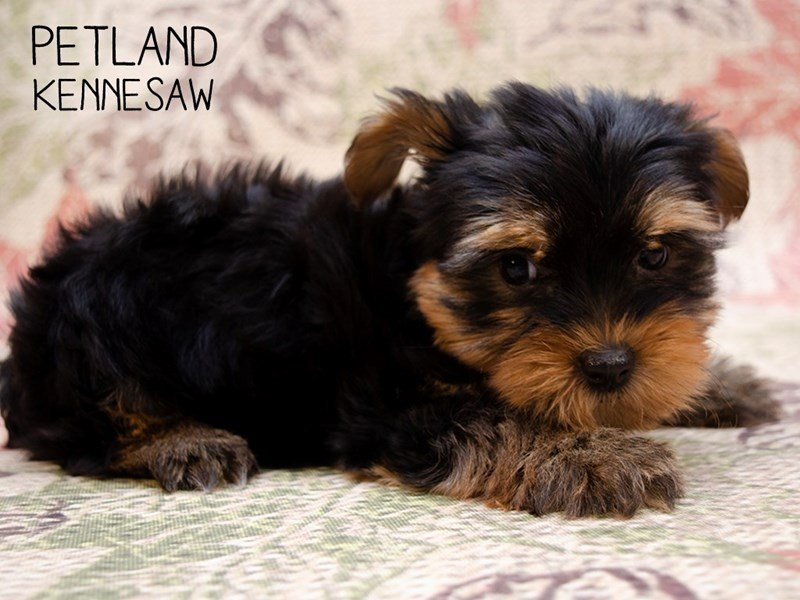 Yorkshire Terrier-Male-Black / Tan-2461113-Petland Kennesaw