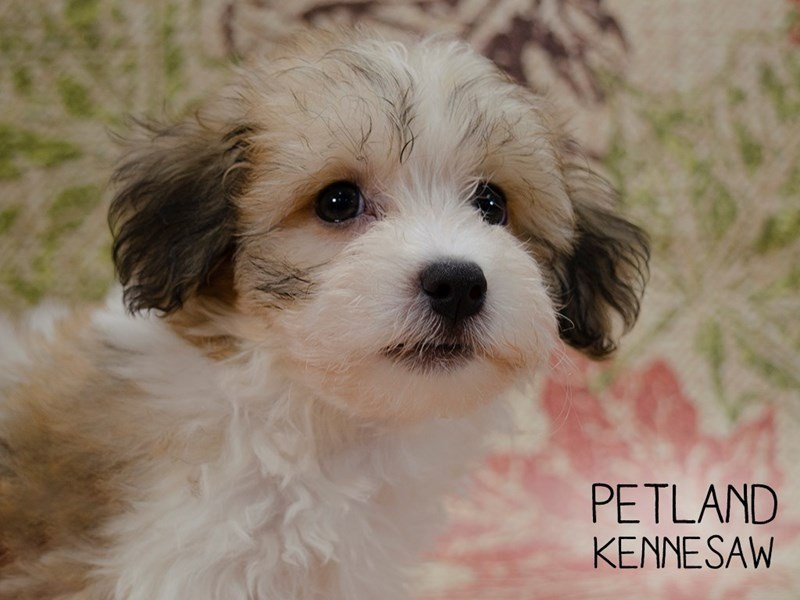 Havanese-Male-Sable and White-2467055-Petland Kennesaw
