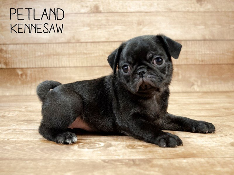 Pug-Female-BLK-2433126-Petland Kennesaw