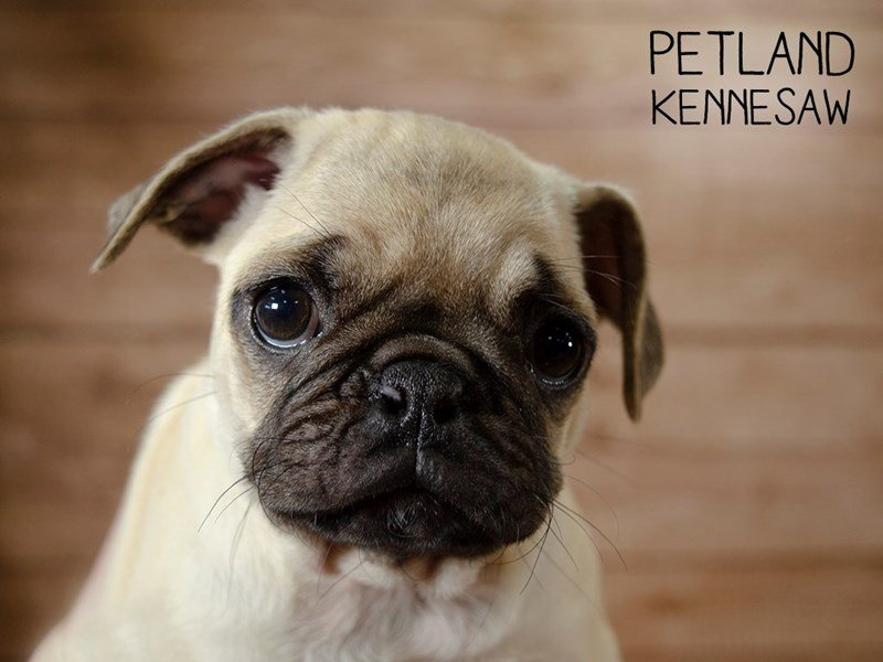 Pug-Female-Fawn-2433491-Petland Kennesaw