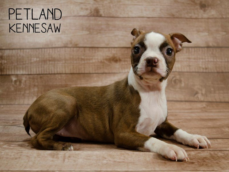 Boston Terrier-Female-Seal / White-2421738-Petland Kennesaw