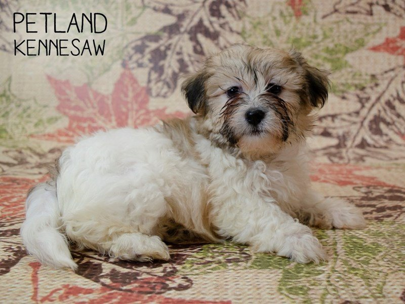 Teddy Bear-Female-BRN WH-2446394-Petland Kennesaw