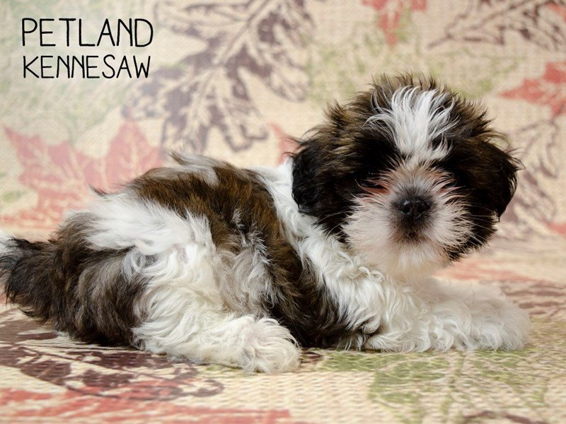 Shih Tzu-Male-BROWN WHITE-2446001-Petland Kennesaw
