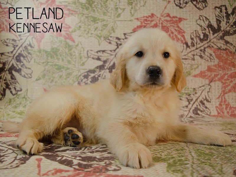 Golden Retriever-Male-Light Golden-2455241-Petland Kennesaw
