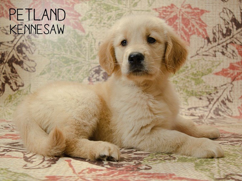 Golden Retriever-Male-Golden-2451181-Petland Kennesaw