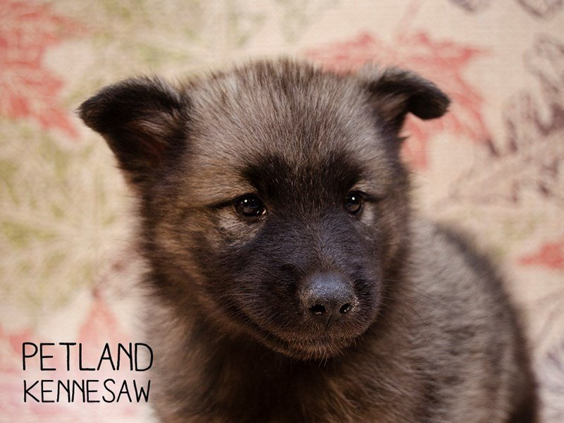 Norwegian Elkhound-Male-Black / Silver-2461121-Petland Kennesaw