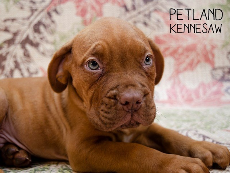 Dogue De Bordeaux-Male-Red-2461138-Petland Kennesaw
