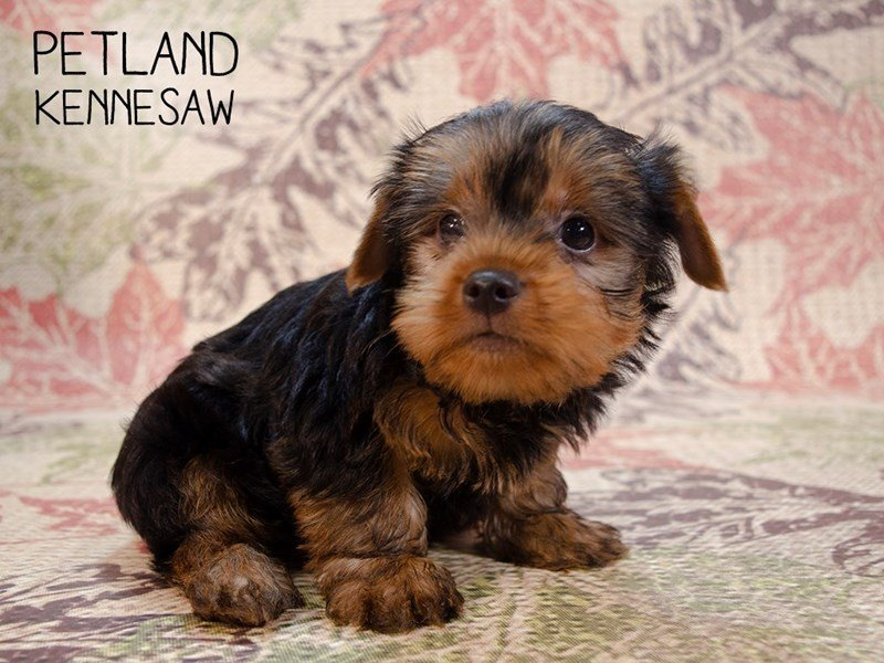 Yorkshire Terrier-Male-Black / Tan-2461122-Petland Kennesaw