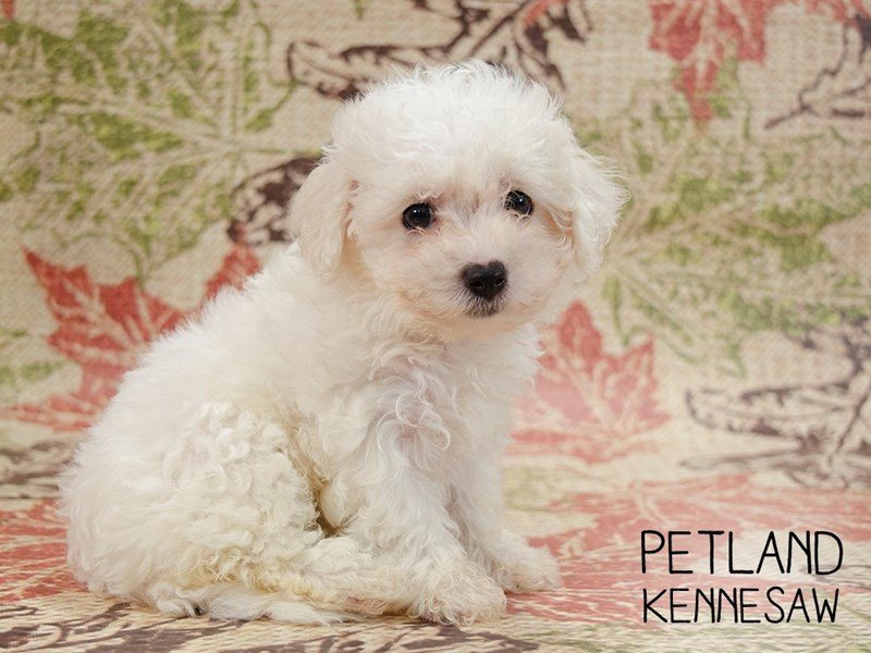 Bichon Frise-Female-White-2467031-Petland Kennesaw
