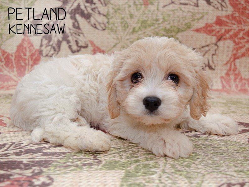 Cavachon-Female-BLENHEIM-2469730-Petland Kennesaw
