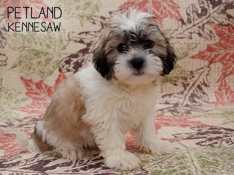 Teddy Bear-Male-BROWN WHITE-2469597-Petland Kennesaw