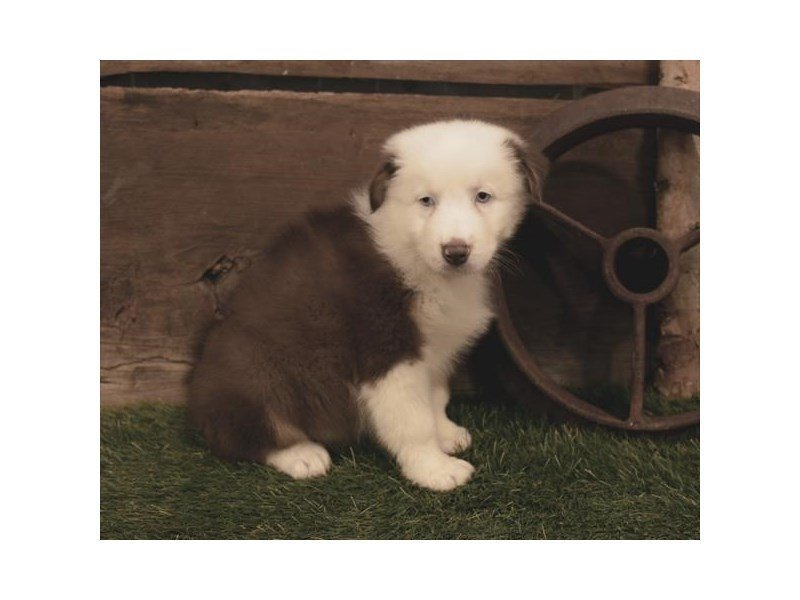 Australian Shepherd-Male-Red-2479689-Petland Kennesaw