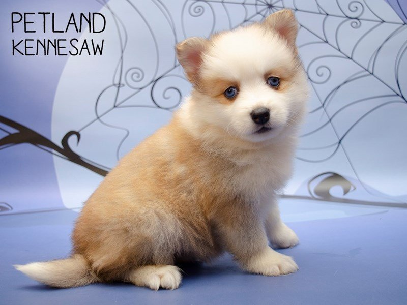 Pomsky-Female-BROWN WHITE-2476154-Petland Kennesaw
