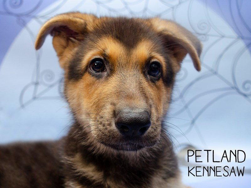German Shepherd-Male-Sable-2476207-Petland Kennesaw