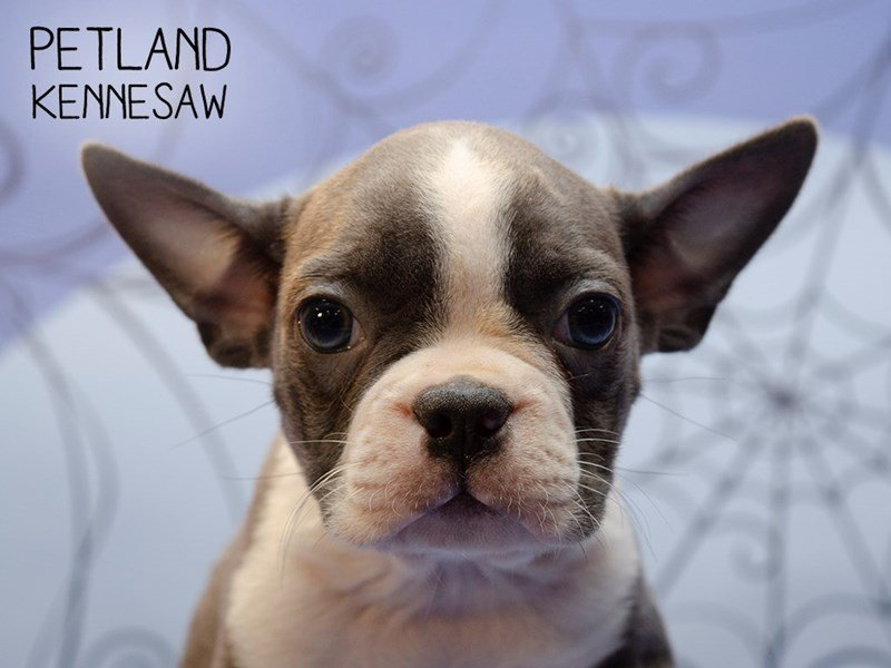 Boston Terrier-Female-BLUE WHITE-2496687-Petland Kennesaw
