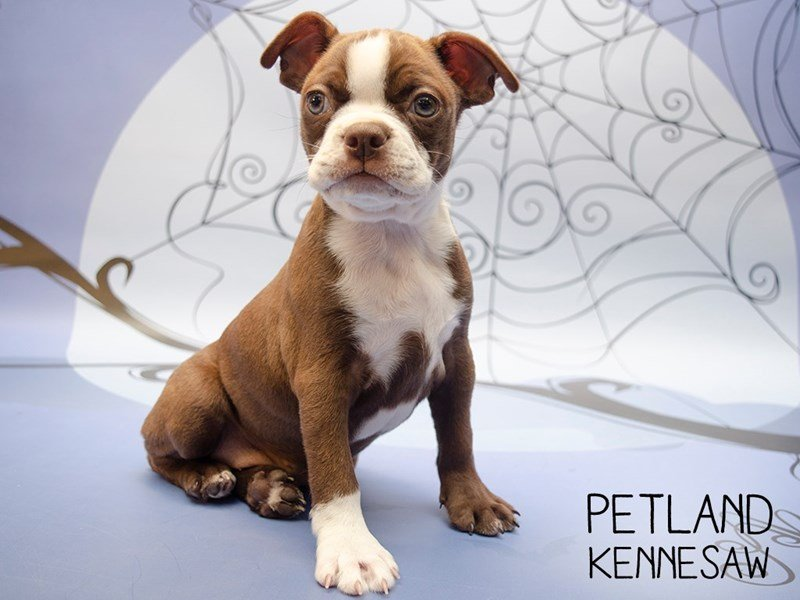 Boston Terrier-Female-Seal / White-2506846-Petland Kennesaw