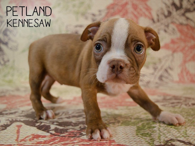 Boston Terrier-Male-Seal / White-2455155-Petland Kennesaw