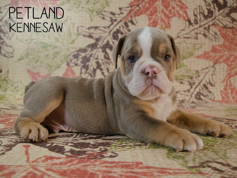 English Bulldog-DOG-Male-Lilac Tan-2455717-Petland Kennesaw