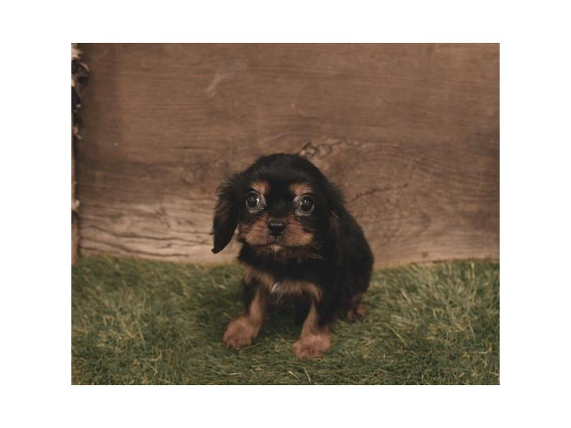 Cavalier King Charles Spaniel-Male-Black / Tan-2500601-Petland Kennesaw
