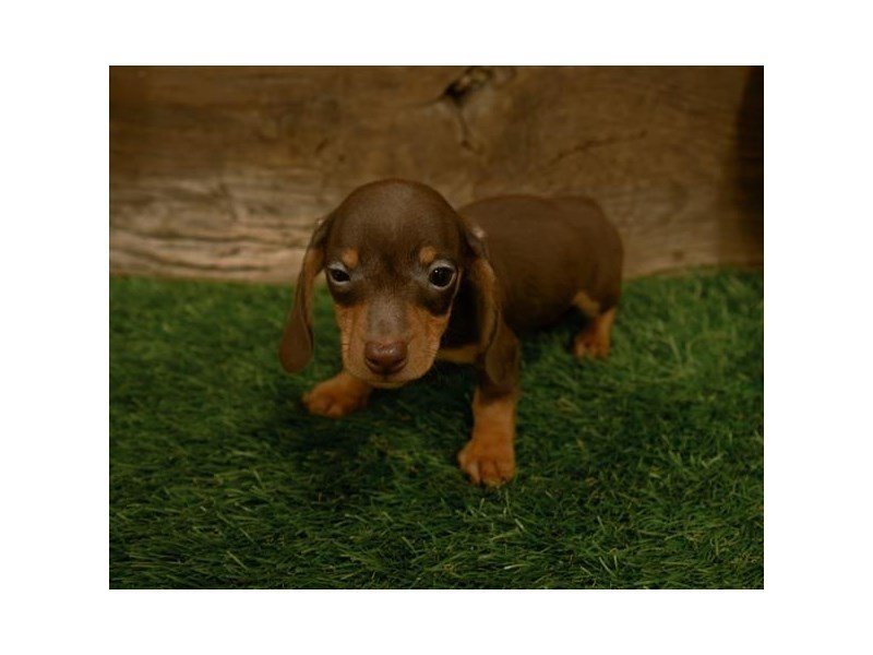 Dachshund-DOG-Male-Chocolate / Tan-2500644-Petland Kennesaw