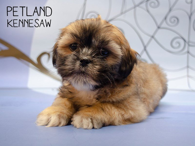 Lhasa Apso-Female-Gold Sable-2506839-Petland Kennesaw