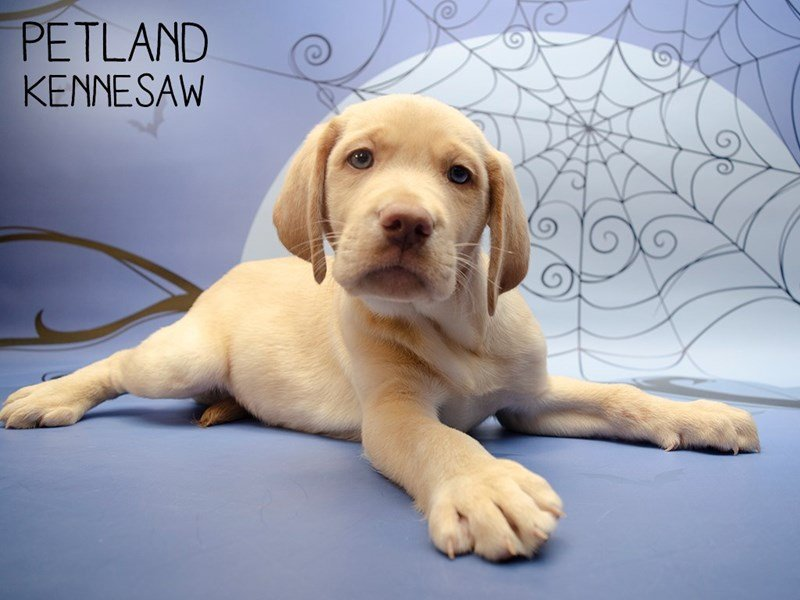 Labrador Retriever-Male-Yellow-2503150-Petland Kennesaw